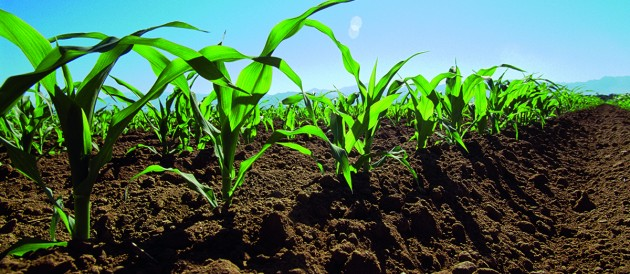 Research results: corn production improved with Crop Booster ®